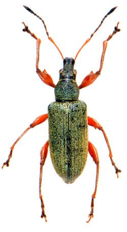 Phyllobius glaucus
