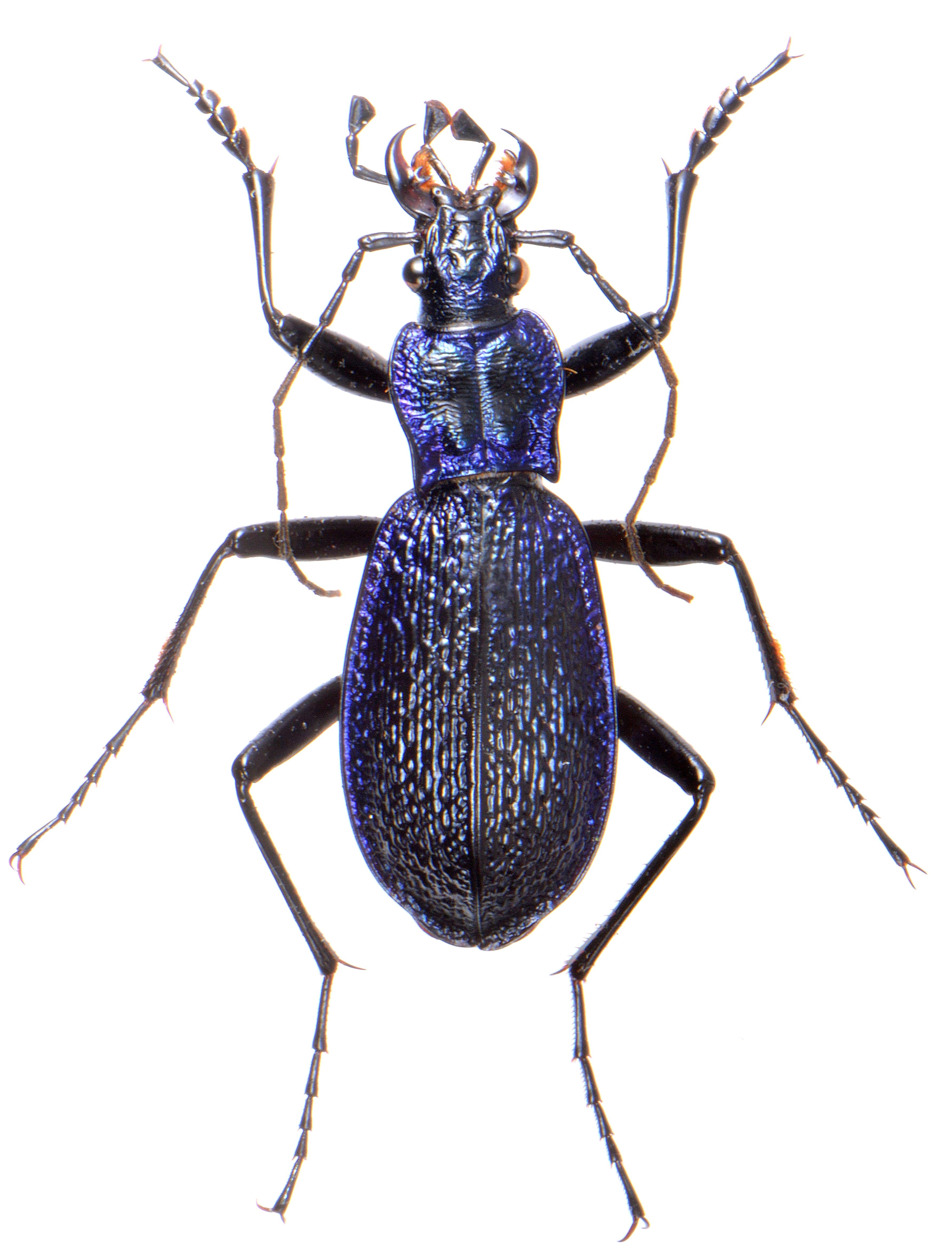 Carabus intricatus ♂