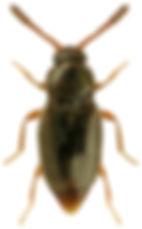 Eutheia scydmaenoides.jpg