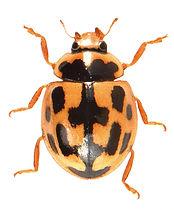 Propylea quatuordecimpunctata 2.jpg