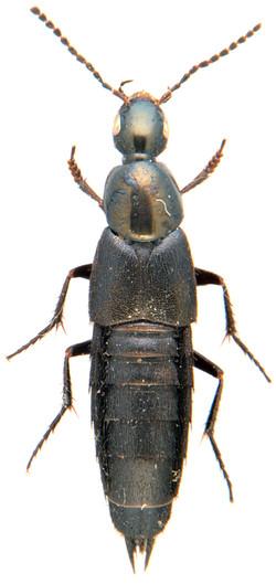 Philonthus cognatus 2