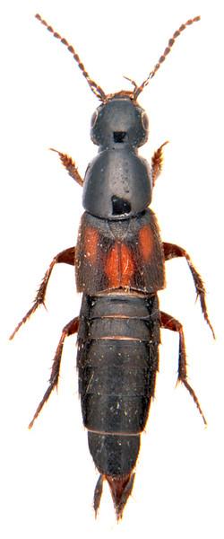 Philonthus sanguinolentus 1