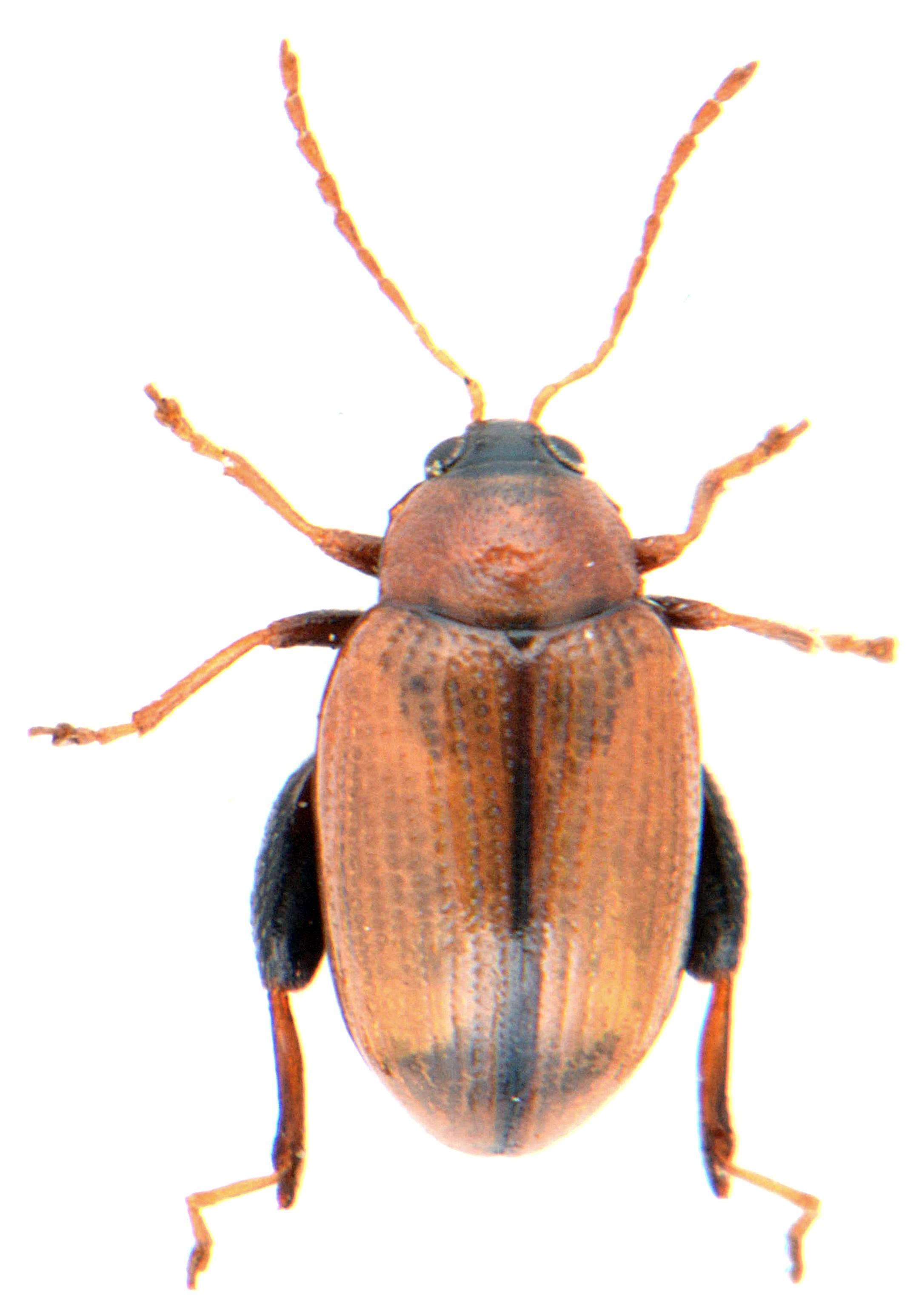 Psylliodes affinis