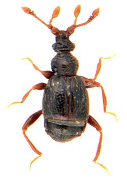 Reichenbachia juncorum 1