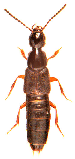 Philonthus quiquilliarius 1