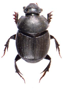 Onthophagus verticicornis 1