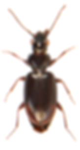 Bembidion minimum.jpg
