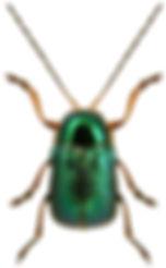 Cryptocephalus nitidulus.jpg