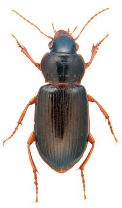 Curtonotus convexiusculus