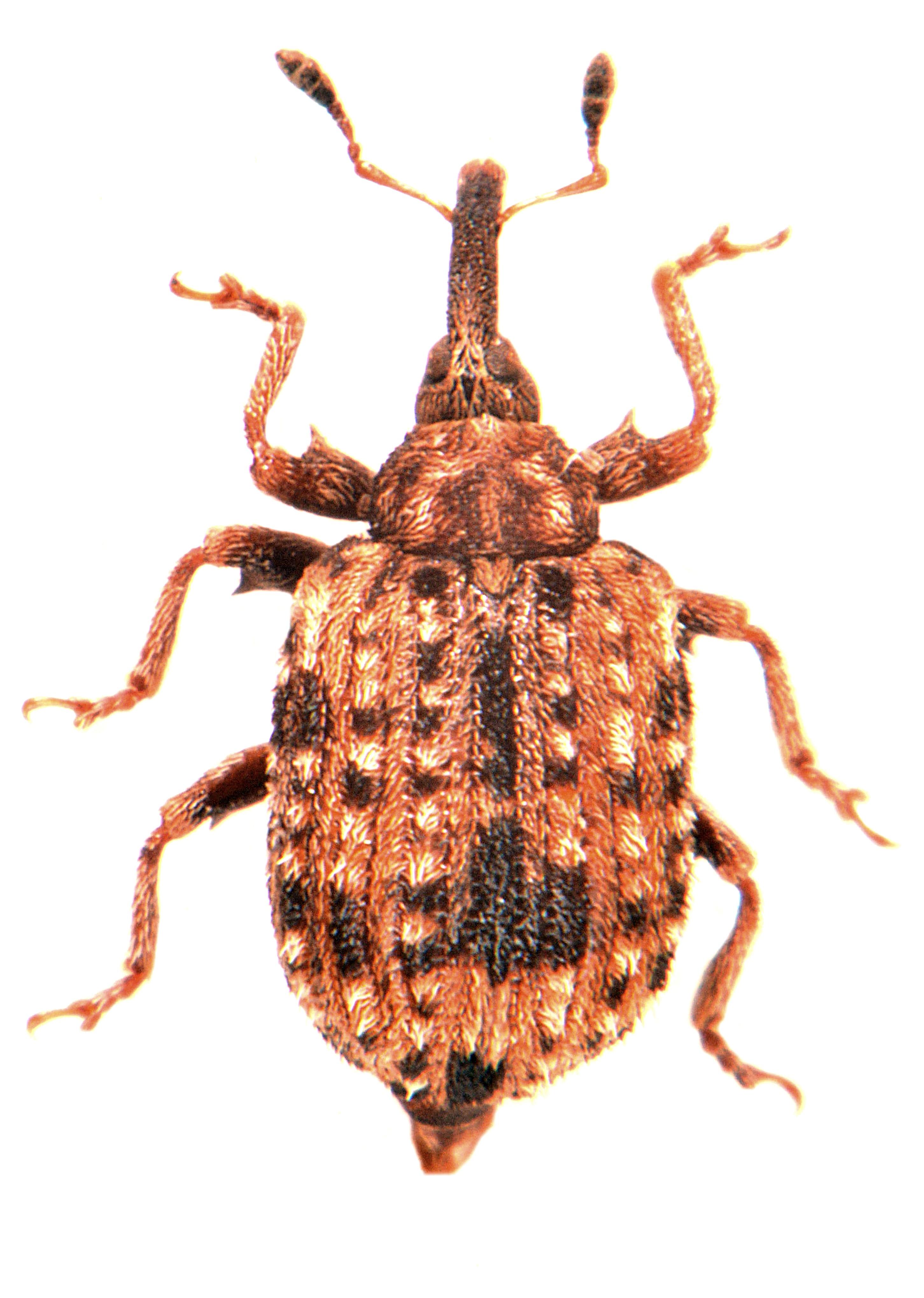 Cleopus pulchellus 1