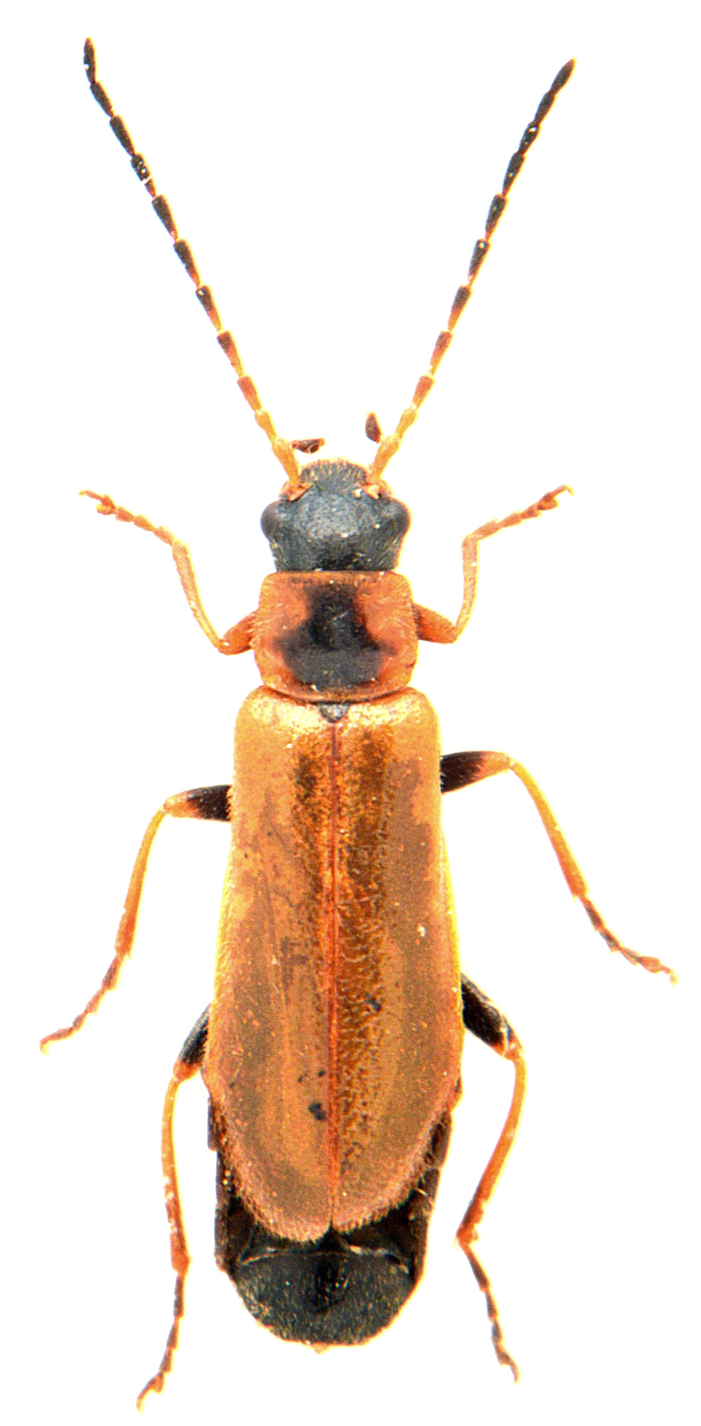 Rhagonycha nigriventris 3