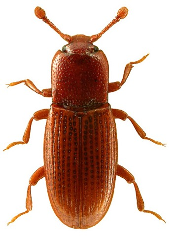 Cerylon ferrugineum