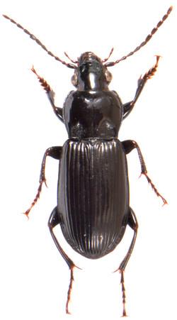 Pterostichus anthracinus 2