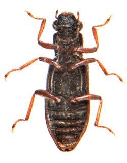 Hydrochus angustatus 3