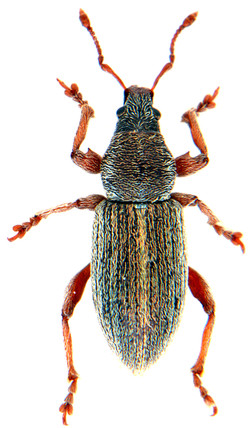Polydrusus marginatus 2
