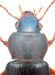 Curtonotus convexiusculus thorax.jpg
