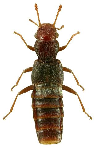 Euaesthetus ruficapillus