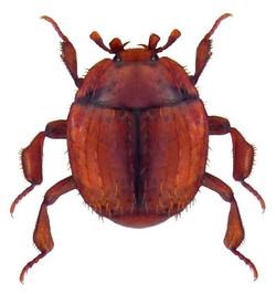 Haeterius ferrugineus