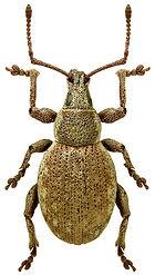 Peritelus sphaeroides.jpg