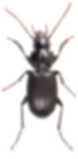 Pterostichus cristatus 1.jpg