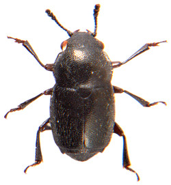 Brachypterus glaber 1