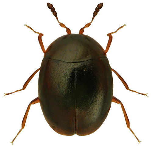 Orthoperus nigrescens