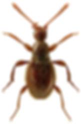 Scydmaenus tarsatus 1LB.jpg