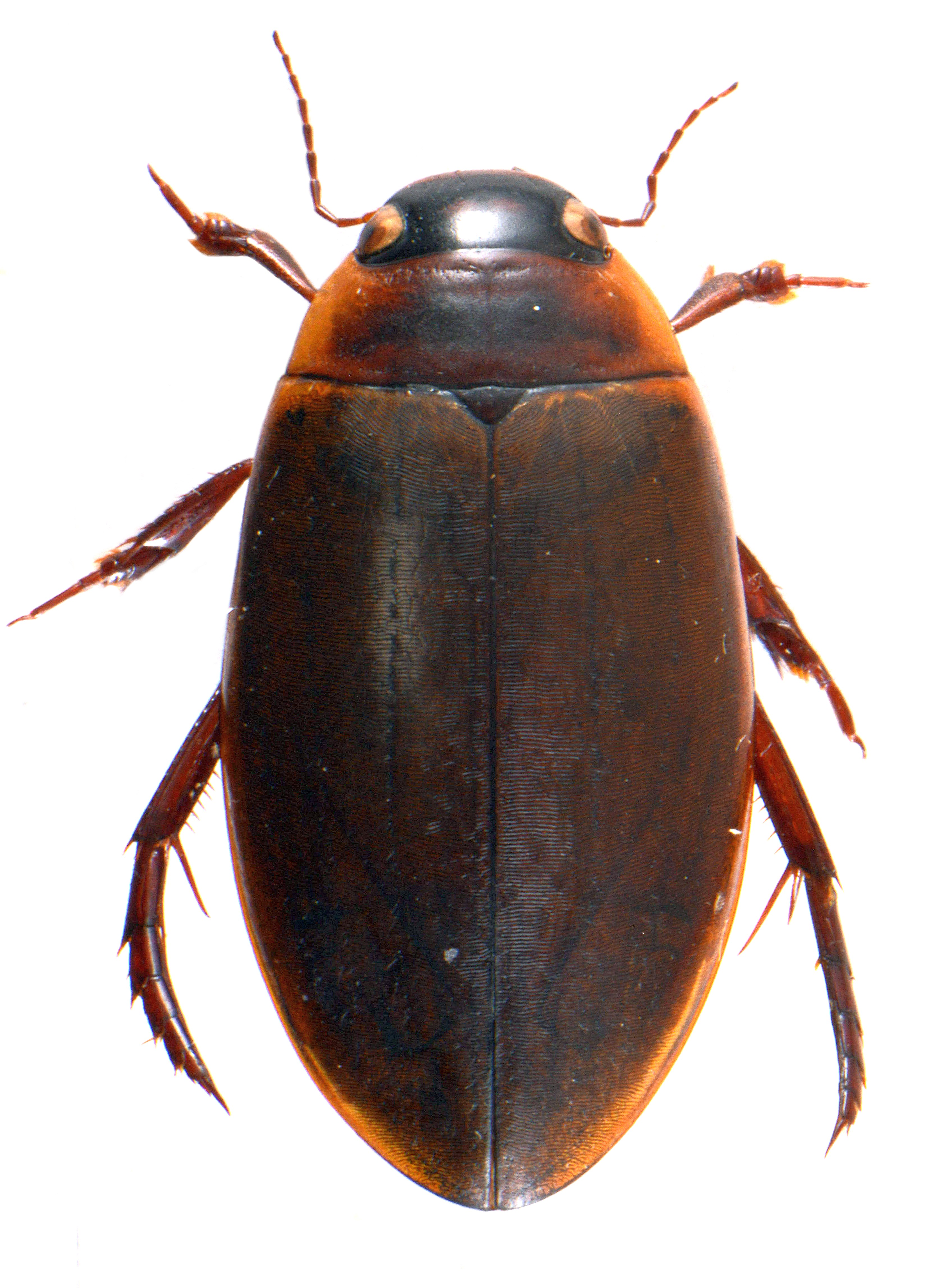 Colymbetes fuscus