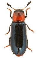 Dermestoides sanguinicollis 1.jpg