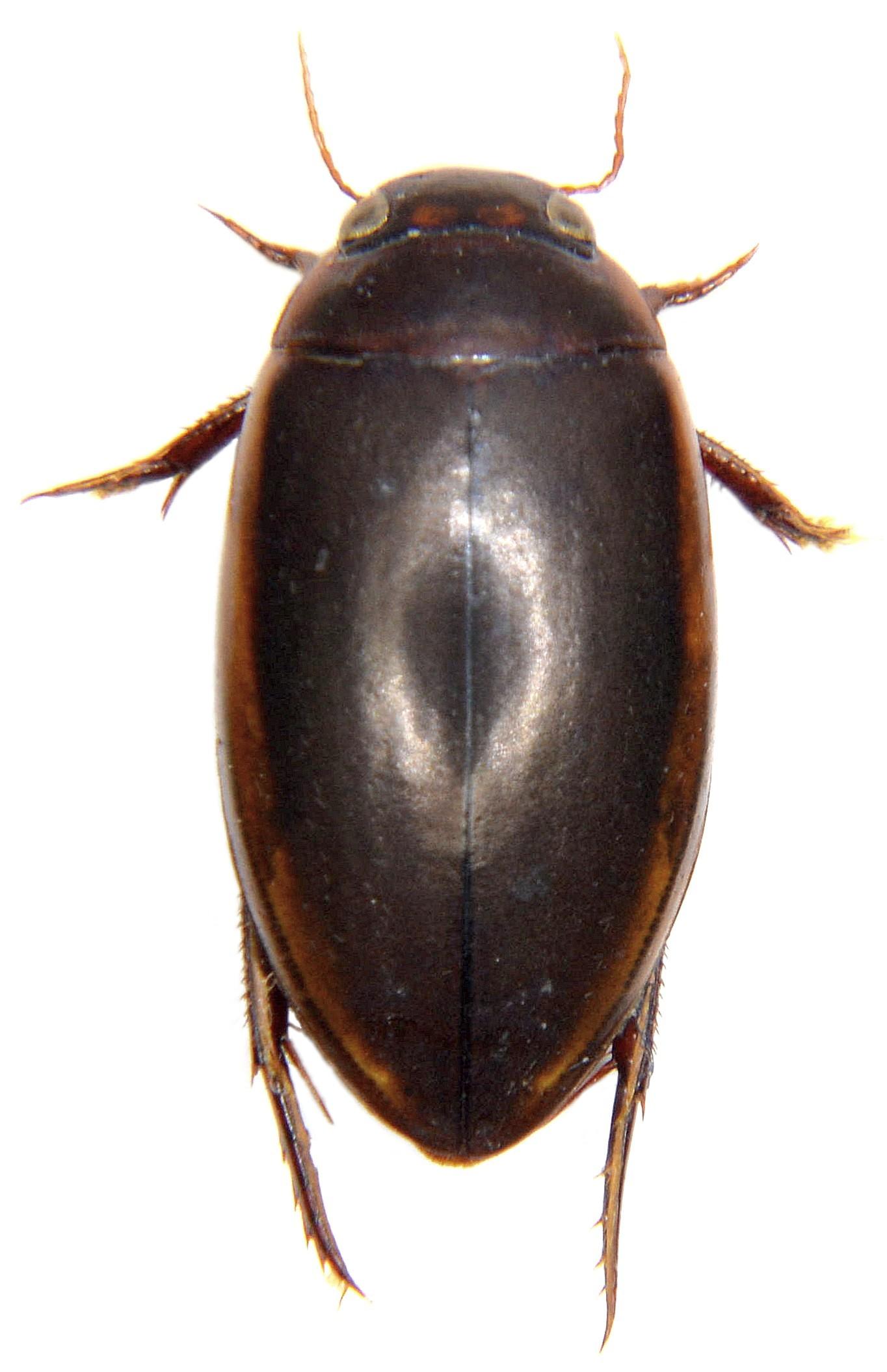 Ilybius fuliginosus ♀