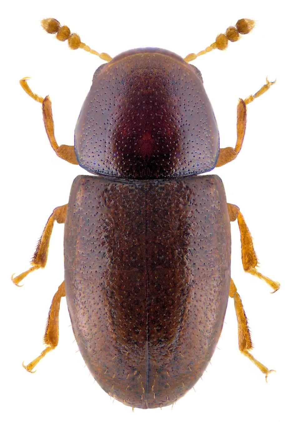 Octotemnus glabriculus 2