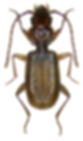 thalassophilus_longicornis_1b.jpg
