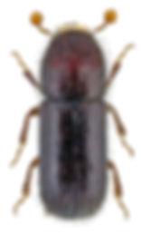 taphrorychus_bicolor_1.jpg