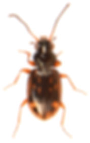 Bembidion octomaculatum.jpg