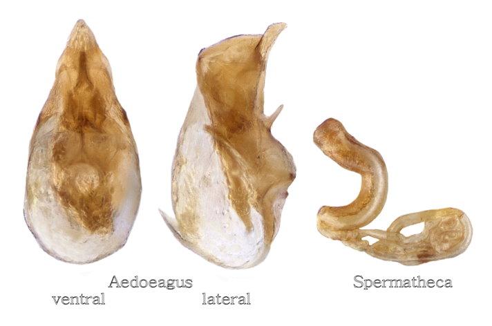 Atheta castanoptera