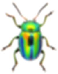 Chrysolina fastuosa 1a.jpg
