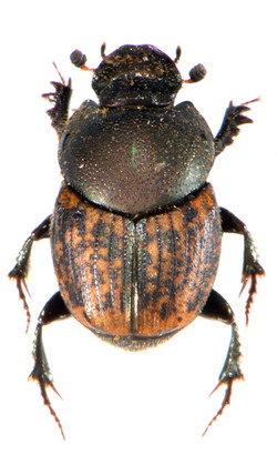 Onthophagus similis 2
