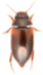 Laccornis oblongus.jpg