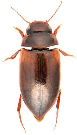 Laccornis oblongus