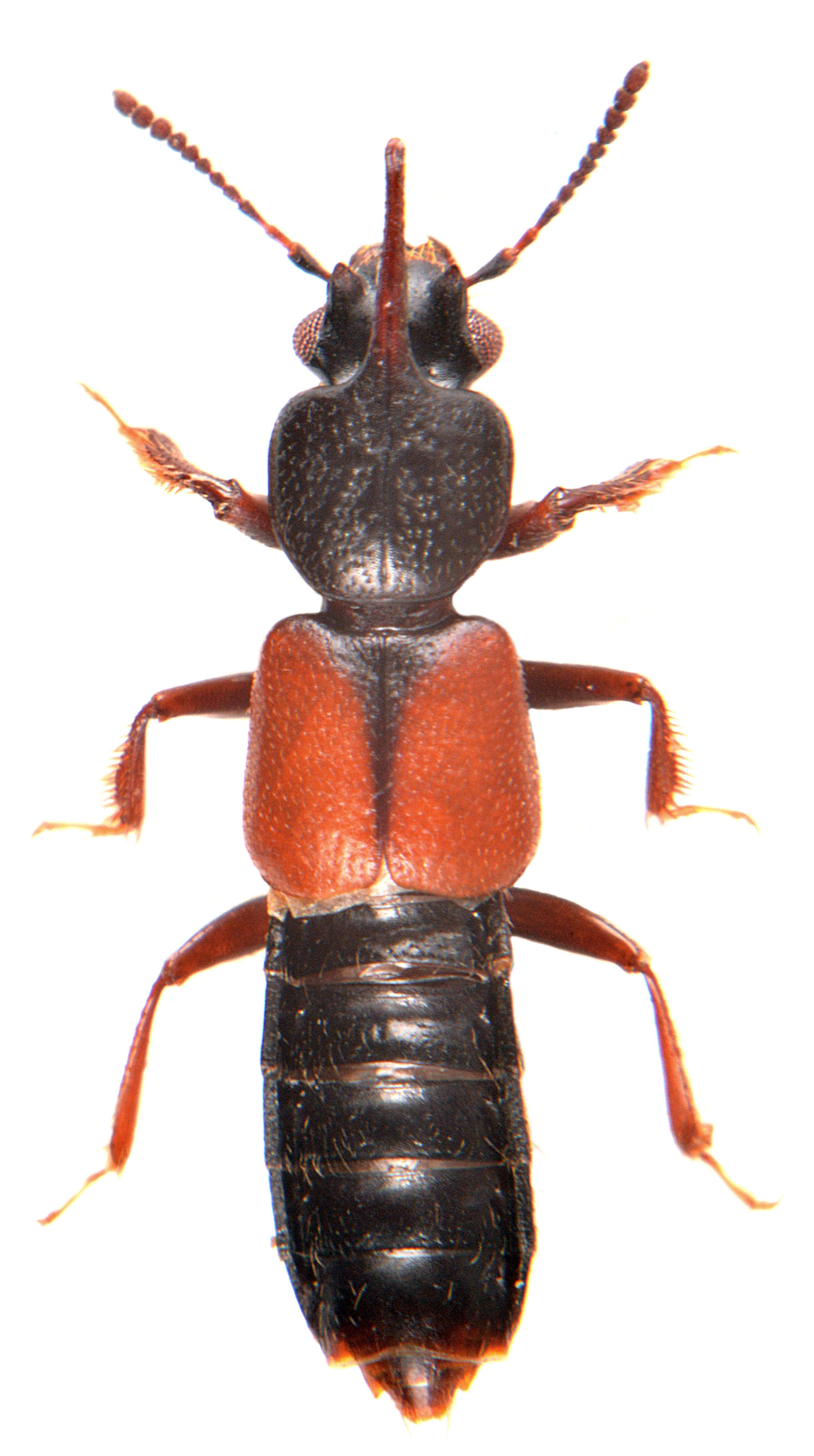 Bledius spectabilis 4