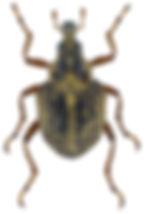 eubrychius_velutus_1.jpg