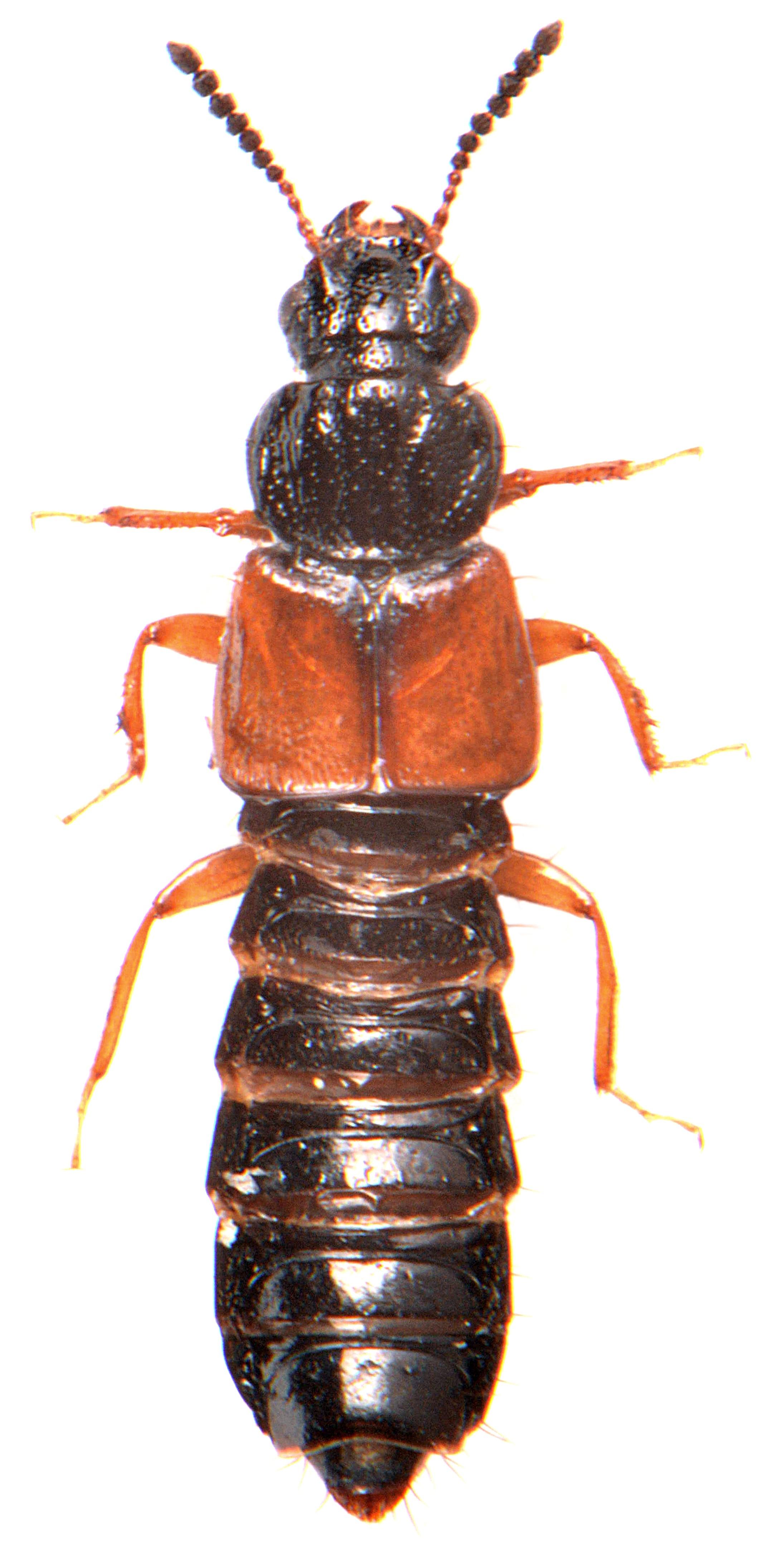 Oxytelus laqueatus 3