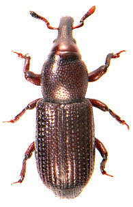 Phloeophagus lignarius 1.jpg