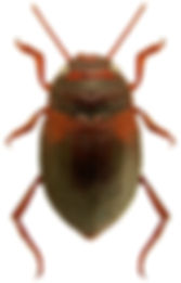 Deronectes latus.jpg