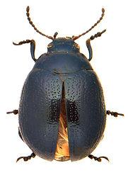 Chrysolina haemoptera 1a.jpg