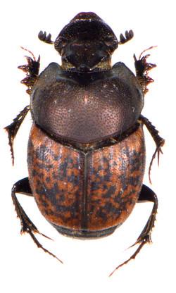 Onthophagus fracticornis 1