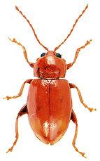 Neocrepidodera transversa.jpg