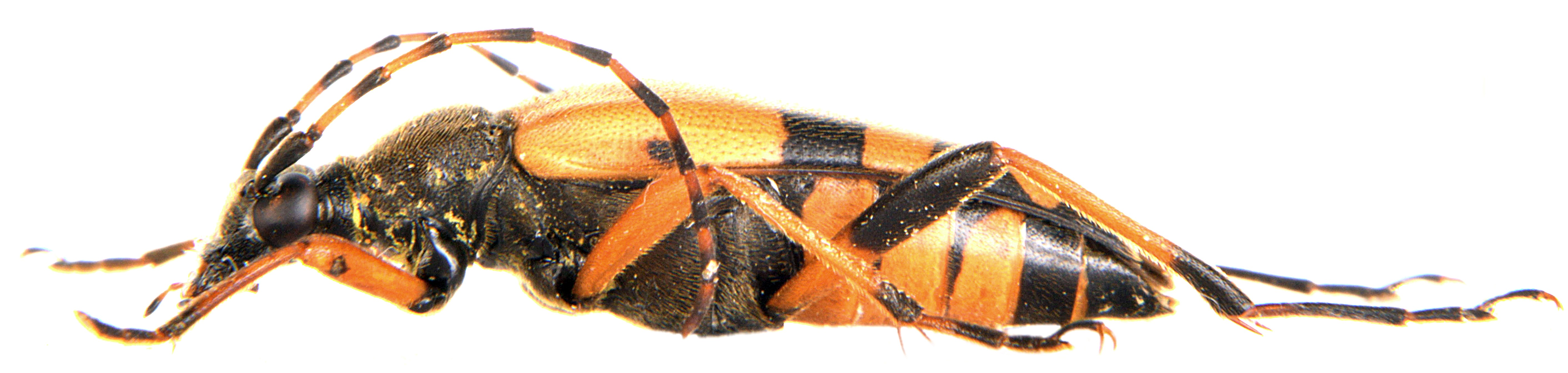 Rutpela maculata ♀