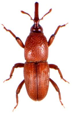 Sitophilus granarius 2
