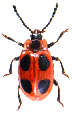 Endomychus coccineus